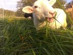 We also sell lamb